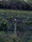 The Vines.
